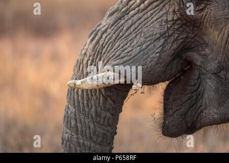 Close up di un elefante, la bocca aperta, zanne Foto Stock