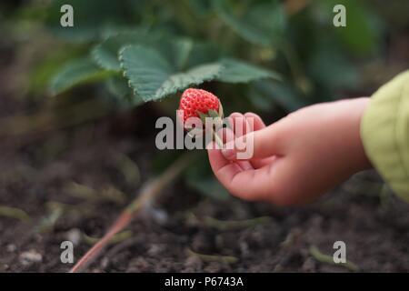 Baby mano impugna uno fragole mature berry in giardino Foto Stock