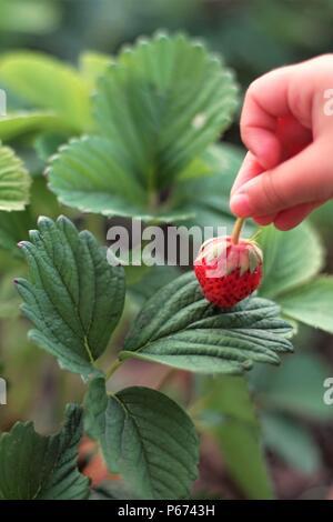 Baby mano trattiene fragole mature berry in giardino Foto Stock