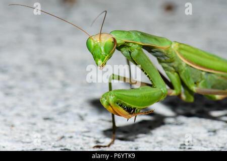 Colore naturale outdoor wildlife vicino la fotografia macro di un singolo isolato verde mantide religiosa su un sfondo lapideo Foto Stock
