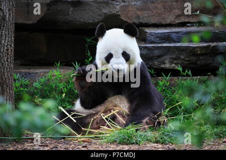 Panda gigante, adulto Alimentazione, Adelaide, Australia del Sud, Australia, (Ailuropoda melanoleuca) Foto Stock