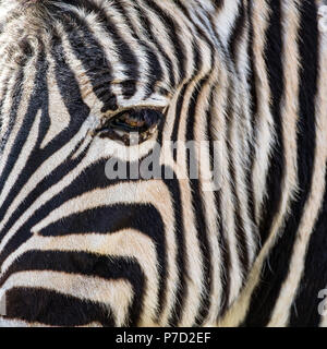 Chiudere da un cavallo zebra eye Foto Stock