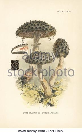 Il vecchio uomo di boschi, Strobilomyces strobilaceus. Chromolithograph dopo una illustrazione botanica da William Hamilton Gibson dal suo libro il nostro Toadstools commestibili e di funghi, Harper, New York, 1895. Foto Stock