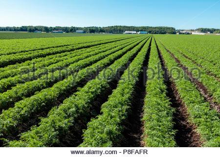 Raccolto di carota che cresce in un campo su un polder marsh agriturismo vicino a Bradford Ontario Canada Holland Marsh Foto Stock