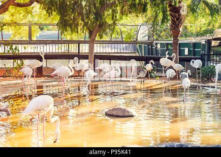 Bella palude luminose bird - passeggiate fenicotteri rosa nel giardino zoologico voliera. I fenicotteri sono un tipo di trampolieri nella famiglia Phoenicopteridae. Selective Foto Stock