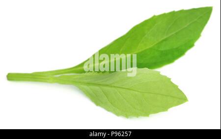 Gynura procumbens noto come longevità spinaci usata come medicina di erbe per molte malattie Foto Stock