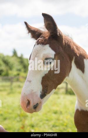 Due settimane vecchio puledro con marrone e pelliccia bianca in un campo al sole su una bella giornata d'estate nella campagna inglese Foto Stock