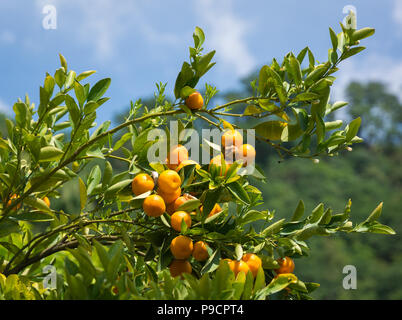 Mandarin Orange tree (citrus reticulata) e sfondo sfocato Foto Stock