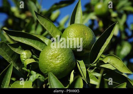 Mandarin Orange tree con una coppia di frutti verdi Foto Stock