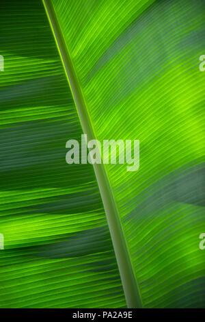 Primo piano di una foglia di banano che mostra bellissimi contrasti di luce e la linea di simmetria. Appropriate come uno sfondo di toni verdi in tonalità chiare e scure. Foto Stock