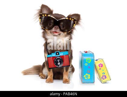 Chihuahua cane cercando in modo fresco con occhiali da sole di fantasia e foto fotocamera pronta per le vacanze estive, isolato su sfondo bianco con bagagli Foto Stock