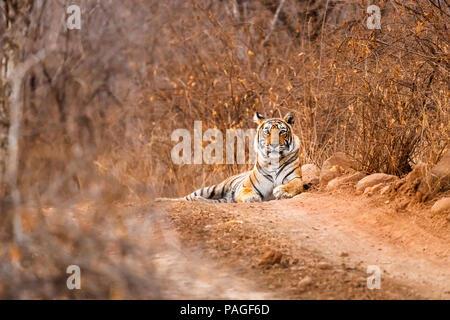 Indian wildlife: Femmina tigre del Bengala (Panthera tigris) avviso giacente su una pista polverosa, il Parco nazionale di Ranthambore, Rajasthan, India settentrionale, stagione secca