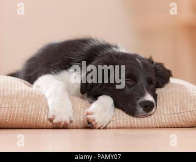 Border Collie. Cucciolo di dormire su un letto di pet. Germania Foto Stock
