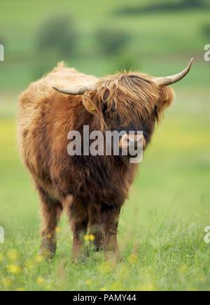 Highland bestiame. Singolo individuo in piedi su un pascolo. Germania Foto Stock