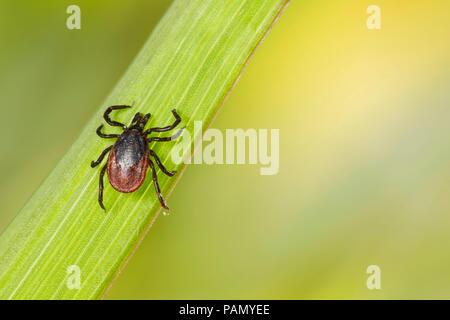 Castor bean tick (Ixodes ricinus) su una lama di erba. Germania Foto Stock