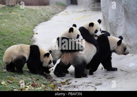 Panda gigante (Ailuropoda melanoleuca) femmina e tre ragazzi età un anno e mezzo. Chengdu Panda Centro di allevamento, Sichuan, in Cina. Foto Stock