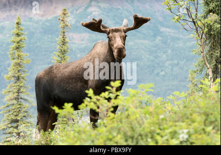 Bull Moose, estate, velluto palchi, Alaska