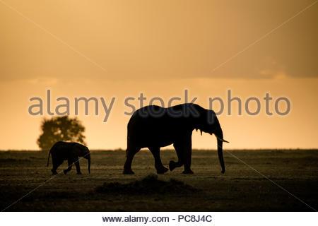 Elefante africano e il suo polpaccio, Loxodonta africana, sull'orizzonte al tramonto. Foto Stock