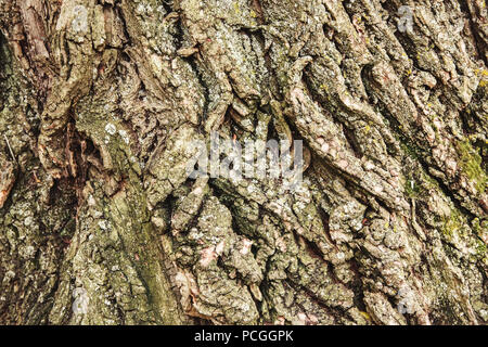 Primo piano di ripresa macro di texture di sfondo di un vecchio di età compresa tra i bellissimi alberi di quercia di corteccia di albero, concetto di texture di sfondo astratto Foto Stock