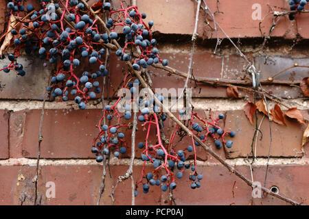 I viticci e i rami di una pianta di vite su un muro incrinato con uva e foglie secche in autunno. Foto Stock