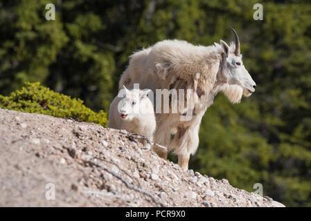 Capre di montagna, Oreamnos americanus, nanny e Kid, il Parco Nazionale di Jasper, Alberta, Canada Foto Stock