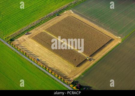 Campo di grano, la raccolta del granoturco, mietitrebbia su campo di grano, agricoltura, campo rettangolare, campo in strada, Dortmund, la zona della Ruhr, Nord Reno-Westfalia, Germania Foto Stock