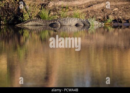 Coccodrillo in appoggio sulle sponde di una piscina in un fiume nel Parco Nazionale di Kruger, Provincia di Limpopo, Sud Africa
