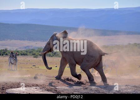Sud Africa, una fantastica destinazione di viaggio per sperimentare e terzo e primo mondo insieme. Arrabbiato elephant Bull inseguono zebre da waterhole. Addo. Foto Stock