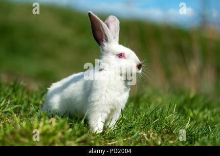 Piccolo coniglio bianco su verde erba nel giorno di estate Foto Stock