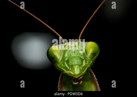 Mantis close-up, macro Foto Stock