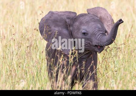 Close up di un elefante riproduzione di vitello in erba Foto Stock