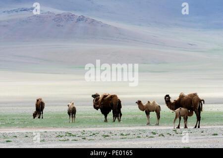 Cammelli nella steppa della Mongolia.