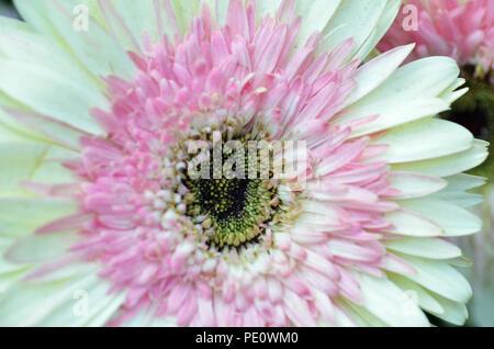 Il bianco e il crisantemo rosa, fiore Dome, giardino dalla baia, Singapore Foto Stock