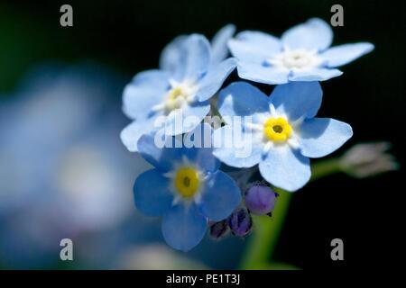 Dimenticare di acqua-me-non (myosotis scorpioides), chiudere il gruppo di fiori. Foto Stock