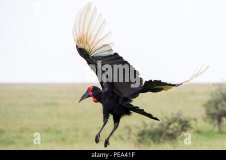 Una massa Hornbill volare lontano nelle pianure del Serengeti National Park, Tanzania.