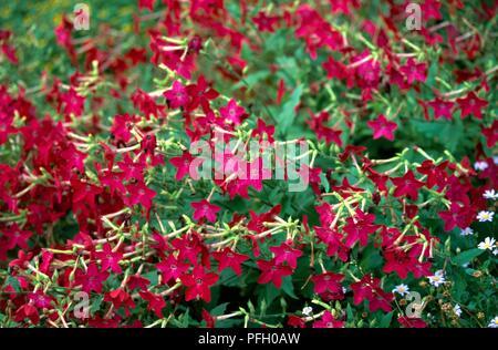 """Nicotiana alata """"Nicky"""" (alato di tabacco), la profusione di luminoso fiori di colore rosa"""