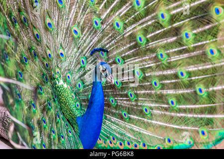 Immagine ravvicinata di un pavone Foto Stock