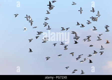 Gregge di sport piccioni viaggiatori battenti contro il cielo blu durante il loro allenamento quotidiano per la concorrenza Foto Stock