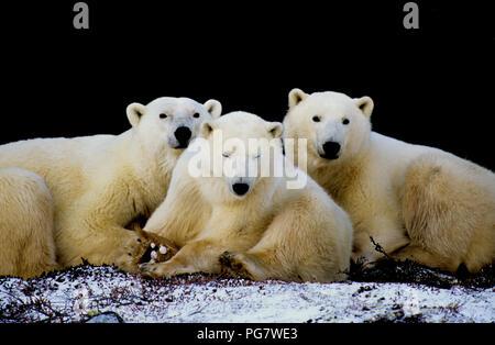 Orso polare (Famiglia seminare con due yearling cubs; Ursus maritimus) di appoggio all'ombra di una scogliera vicino a Churchill, Manitoba, Canada Foto Stock