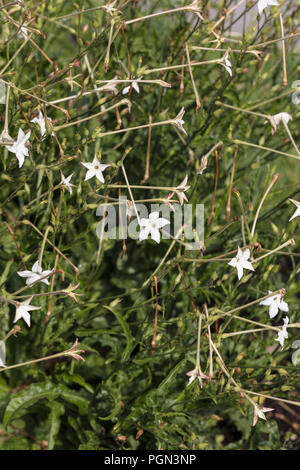 Gelsomino tabacco, Stor blomstertobak (Nicotiana alata)