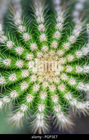 Dettaglio di cactus, top di cactus, close-up Foto Stock