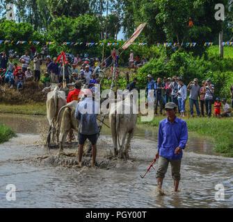 Chau Doc, Vietnam - il Sep 3, 2017. Vacche (OX) racing sul campo di riso in Chau Doc, Vietnam. Il bue racing in Chau Doc ha una vecchia tradizione. Foto Stock