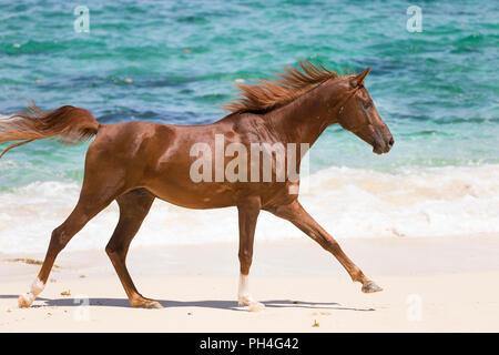 Arabian Horse. Chestnut castrazione al galoppo su una spiaggia tropicale. Seicelle Foto Stock