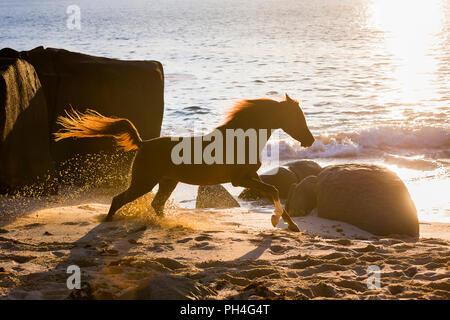 Arabian Horse. Chestnut castrazione al galoppo su una spiaggia al tramonto. Seicelle Foto Stock
