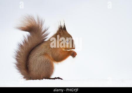 Close up di un simpatico scoiattolo rosso nella neve, inverno in Inghilterra. Foto Stock