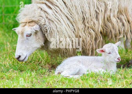 Pecore bianche con agnello neonato in primavera Foto Stock Pecore bianche  con agnello neonato in primavera · Close up di ... eda1b3a9cdde