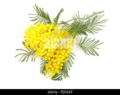 Rametto di carni soffici mimosa su sfondo bianco Foto   Immagine ... 4275de453377