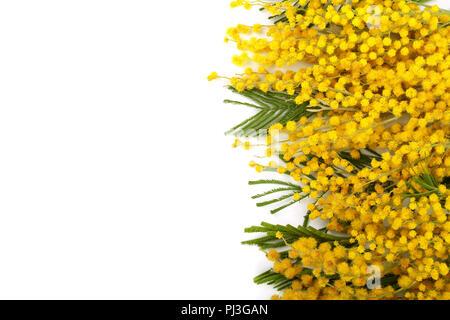 La mimosa isolato su sfondo bianco con copia spazio per il tuo testo. Vista  superiore c147a0a770df