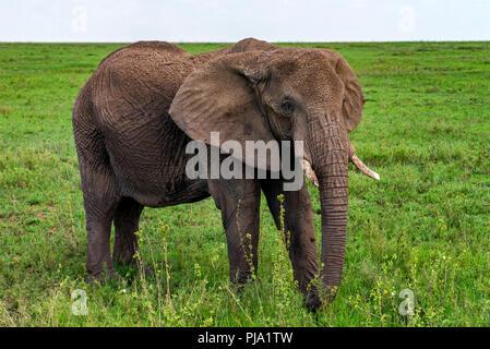 Elefante africano o Loxodonta cyclotis nella natura Foto Stock