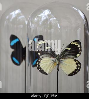 Le farfalle in una campana trasparente jar Foto Stock
